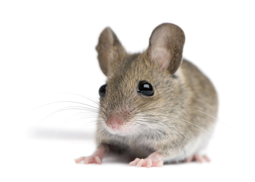 Mouse against white background