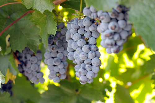Grape Vine Dream Oicture