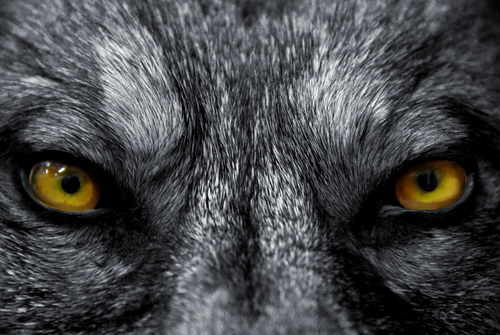 Fierce Wolf Eyes - Meaning of Dreams about Wolves Picture